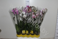 Фаленопсис Phal Mix Branched Super Concorde
