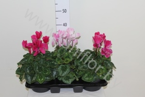 Цикламен Cyclamen Halios Mix
