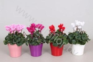 Цикламен Cyclamen In Bombe Keramiek