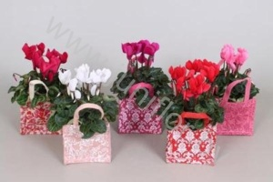 Цикламен Cyclamen In Jute Tas