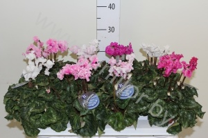 Цикламен Cyclamen Merengue Gemengd