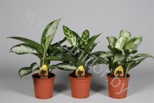 Аглаонема Aglaonema Mixed