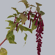Амарантус Amaranthus Trial Red