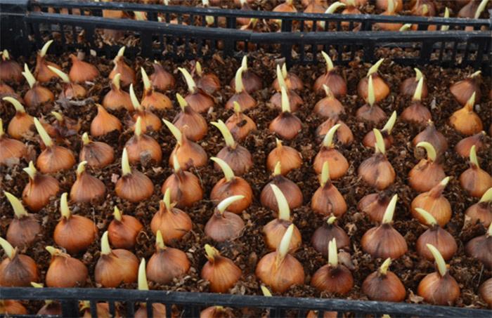 Ирисы как сажать луковицы 73