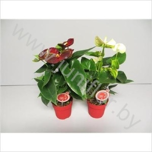 Антуриум Anthurium MORE LIPS Kerstmix