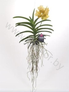 Ванда Orchidee Vanda Yellow Magic