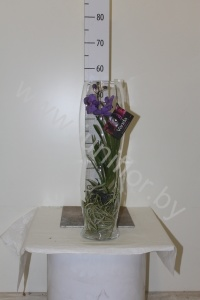 Ванда Orchidee Vanda H. In Zandloper Glass