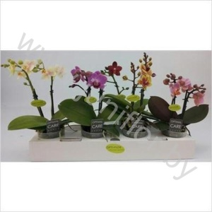 Фаленопсис   Phal Multi Flower Mix 2 tak