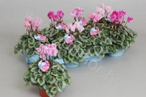 Цикламен Cyclamen SS Picasso Flamed