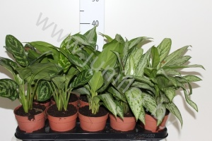 Аглаонема Aglaonema Butterfly