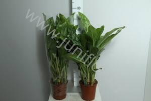 Аглаонема Aglaonema Greenlight