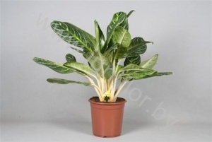 Аглаонема Aglaonema Key Lime