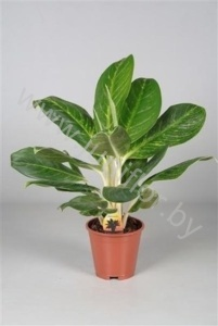 Аглаонема Aglaonema King Of siam