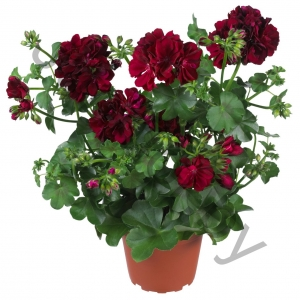Пеларгония Pelargonium Global Burdgundy