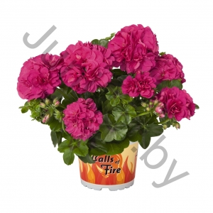 Пеларгония Pelargonium Peltatum Great Balls Of Fire Deep Rose