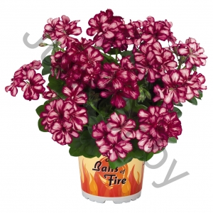 Пеларгония Pelargonium Peltatum Great Balls Of Fire Burgundy Blaze
