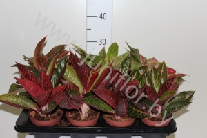 Аглаонема Aglaonema Mixed Extra