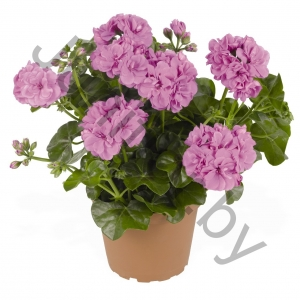 Пеларгония Pelargonium Peltatum Great Balls Of Fire Lavender