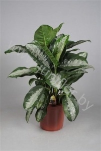 Аглаонема Aglaonema Pattaya Beauty