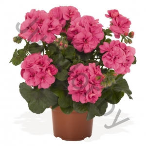 Пеларгония Pelargonium Peltatum Great Balls Of Fire Pink