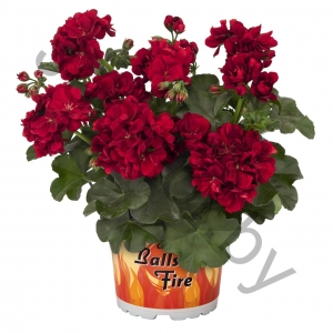 Пеларгония Pelargonium Peltatum Great Balls Of Fire Red