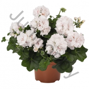 Пеларгония Pelargonium Peltatum Great Balls Of Fire White