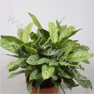 Аглаонема Aglaonema Stripes