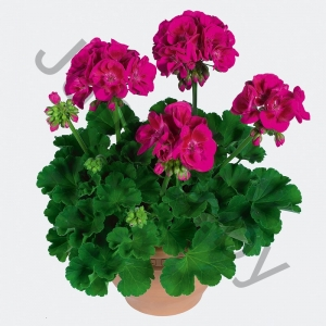 Пеларгония Pelargonium Zonale Hot Pink
