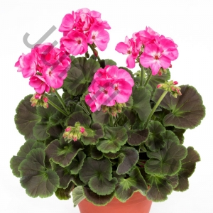 Пеларгония Pelargonium Zonale Light Pink