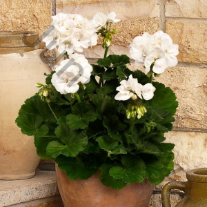 Пеларгония Pelargonium Zonale White