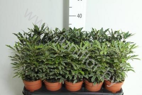 Дизиготека, особенности ухода за растением в домашних условиях   401x600