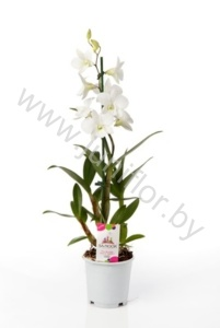 Дендробиум Dendrobium Coconut Dream