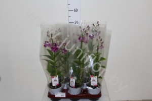 Дендробиум Dendrobium Purple Happiness