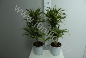 Драцена Dracaena Comp Surprise 30-10