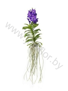 Ванда Orchidee Vanda Blue Magic