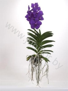Ванда Orchidee Vanda Magic Royal Blue