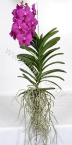 Ванда Orchidee Vanda Pink Big